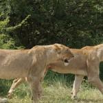 Løver i Kruger
