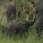 Elefantbaby