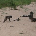 Bavianer i Kruger