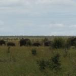 Elefanter på rad og rekke