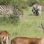 Sebra og impala