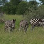 Sebraer i Kruger