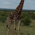 Sjiraff i Kruger