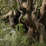 En bøffel lurer i buskene