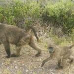 Vi møtte noen bavianer på vei til Kapp Det Gode Håp.